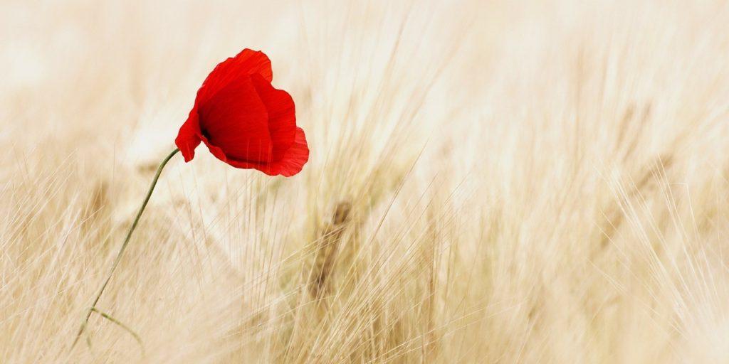 poppy-in-field